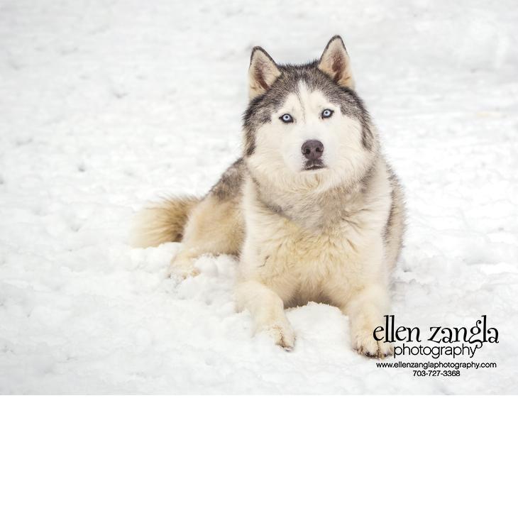 Siberian Husky in the Snow Photo