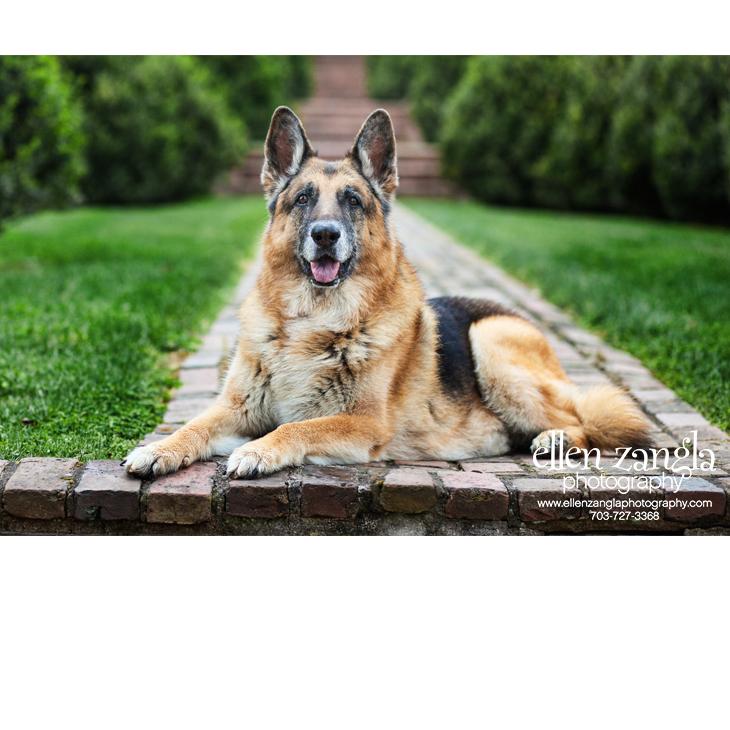 German Shepherd in Leesburg, VA Photo